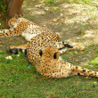 Постер, плакат: Having a rest leopards