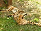 имея остальной леопарда — Стоковое фото