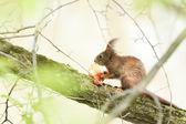 Kızıl sincap ağaçta oturuyor — Stok fotoğraf