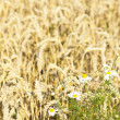 Wheat background — Stockfoto