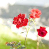 Red flower — Foto Stock