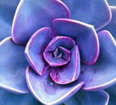 Purple sempervivum petals — Stock Photo