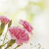 Цветок гвоздика — Стоковое фото
