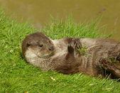 Otter playing — Stock Photo