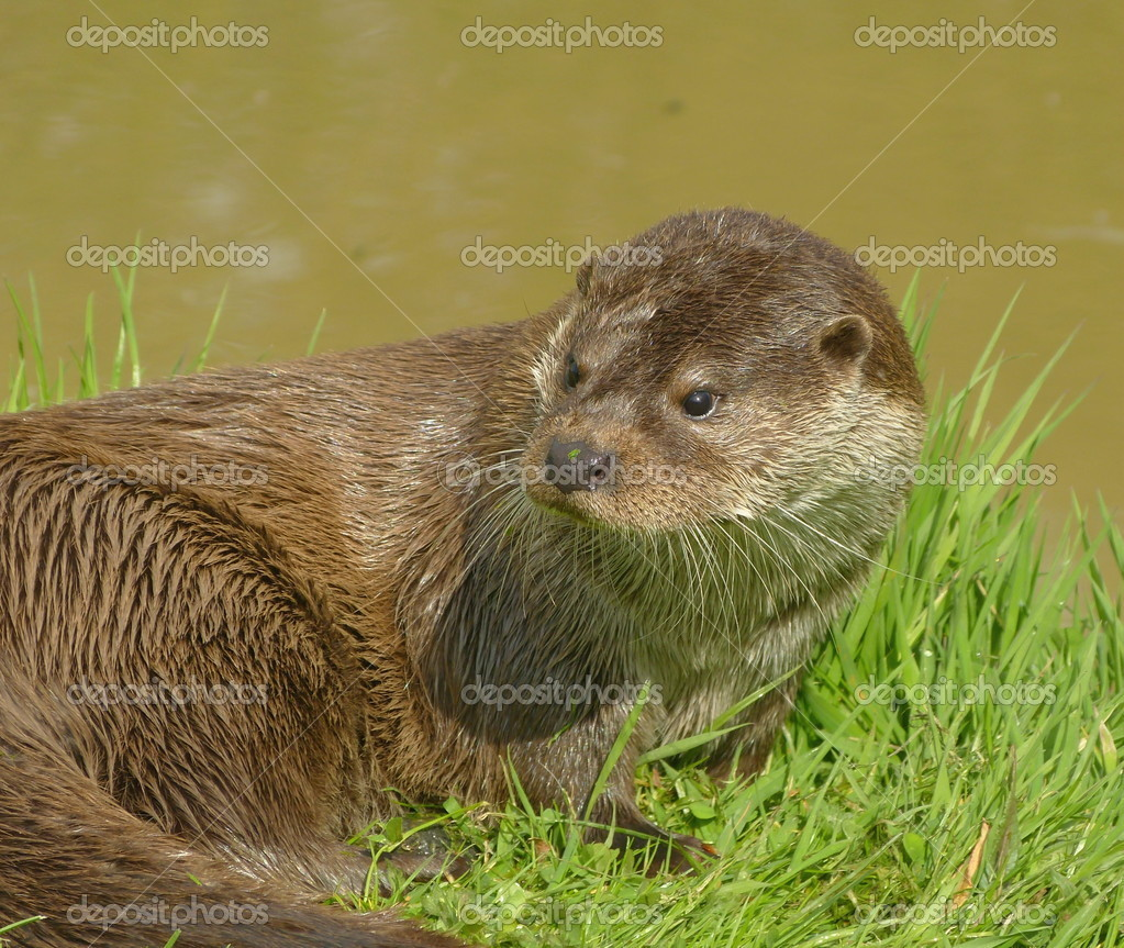 Otter on riverbank after swimming — Stock Photo #10343864
