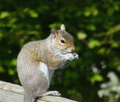 Squirrel eating nuts — Stock Photo