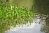 Grasses in lake — Stock Photo