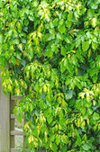 Ivy plant — Stock Photo