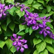 Violet flowers against green leaves — Stock Photo #10343986