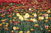 Tulips. — Stock Photo