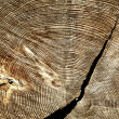 Severing cut of tree with  shake annual rings - Stock Photo