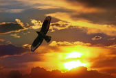 Eagle in sunset the sky — Stock Photo