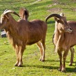 Goats on a sunny meadow. — Stock Photo