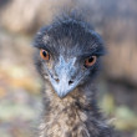 Meet the emu. — Stock Photo