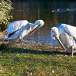 Pelicans on the sunny side. — Stock Photo