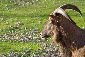 Mountain goat. — Stock Photo