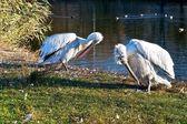 Pelikanen op de zonnige kant. — Stockfoto
