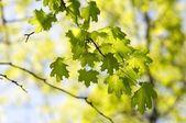 Spring maple — Stock Photo