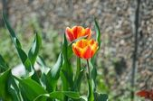 Variegated tulips — Stock Photo