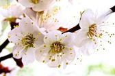 Flowering apricot. — Stock Photo