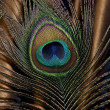 Peacock feather — Stock Photo #10439781