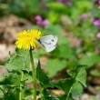 Stock Photo: Butterfly on dandelion