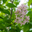 Flowers lilac. — Stock Photo