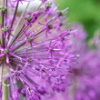 Stock Photo: Inflorescence