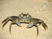 Krab in het zand. — Stockfoto