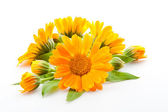 Calendula. flowers isolated on white — Stock Photo