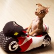 Funny little dog on motorcycle — Stock Photo #9625113