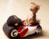 Funny little dog on motorcycle — Stock Photo