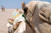 Camel in Sahara — Stock Photo