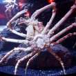 Stock Photo: Japanese spider crab