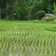 Balinese rice fields — Stock Photo #9260274