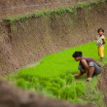 Rice farmers — Stock Photo