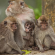 Monkey family - Stock Photo