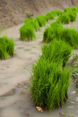 Rice grass — Stock Photo