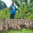 Duck farming — Stock Photo