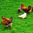 Stock Photo: Chickens