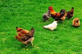 Tavuklar — Stok fotoğraf