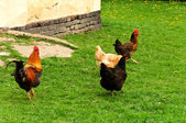 Chickens on the grass — Stock Photo