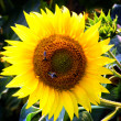Sunflower — Stock Photo #9121778