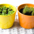 Stock Photo: Basil and Dill Pots