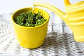 Fresh Basil in a Pot — Stock Photo