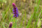 Butterfly on sage — Stock Photo