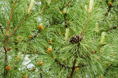 Green conifer tree with cone — Stock Photo