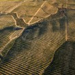 Orange trees plantation aerial view — Stock Photo