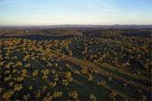 Oak plantation aerial view — Stock Photo