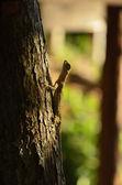Gecko subiendo el árbol — Foto de Stock